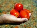 Tomate ovale