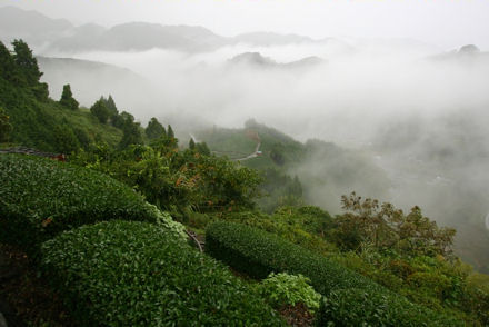 Plantation de Gyokuro et sencha © Chercheurdethe.com