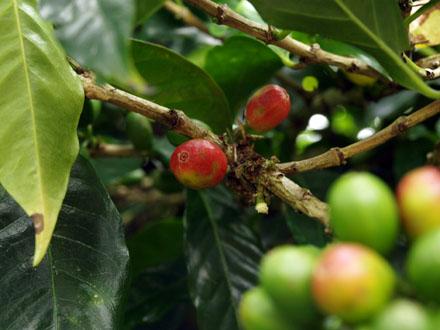 Dans quelques semaines, ces cerises de café pourront être récoltées © Christelle Vogel
