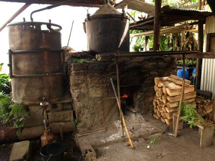Distillation du géranium