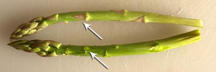 Ecussonage des asperges vertes