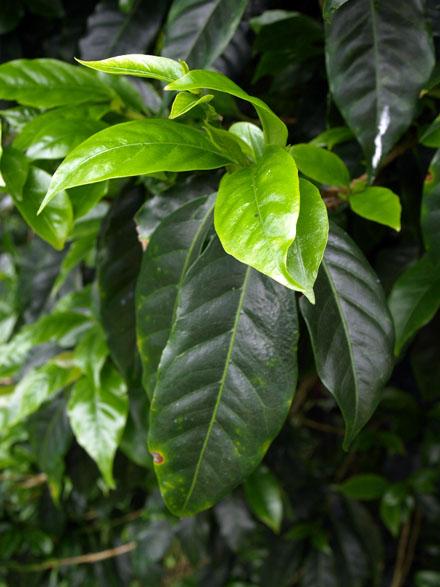 Jeunes feuilles de bourbon pointu © Christelle Vogel