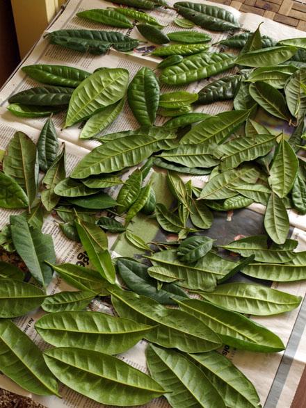 Séchage des feuilles de quatre-épices