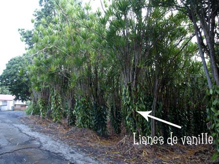 Plants de vanille - Roulof