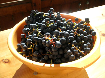 Raisins noirs du jardin